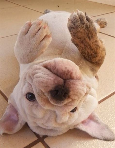 why do dogs like their belly rubbed 10 reasons why your bulldog is staring at you right now