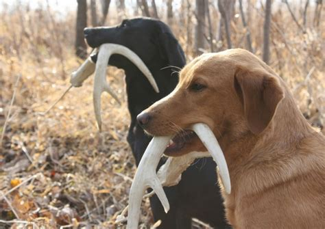 Shed With Dogs by Tips For Your How To Find Shed Antlers