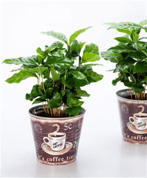 pianta di caffe in vaso botanica pratica come coltivare una pianta caff 232 a