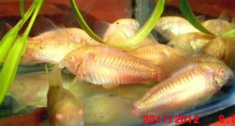 Ikan Hias Keling Lilin ikan hias tawar menakjubkan amazing ornamental freshwater fish catfish