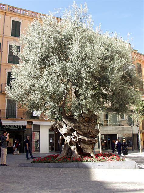 olivenbaum wann schneiden olivenbaum olea europaea