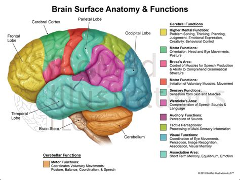 sections of the brain brain functions lateral view biomed illustrations llc