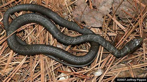 black racer eastern racer coluber constrictor