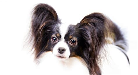 akc puppy breeders papillon breed information american kennel club