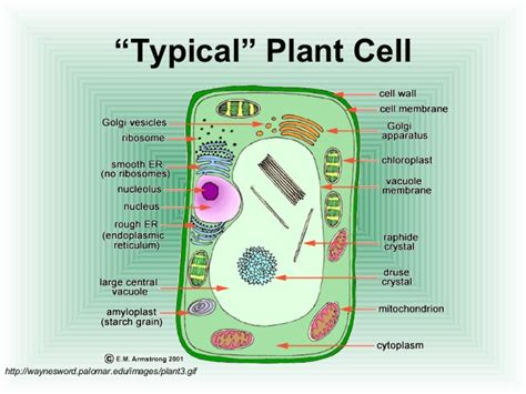plant cell diagram and functions plant cell structure and function chart