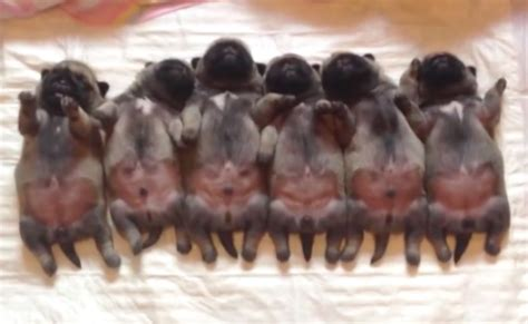 roly poly puppies roly poly pug puppies cuddle up in the ultimate squiggly snugglefest