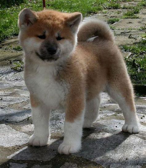 imagenes perros japoneses conozca la raza de perro akita akita inu akita ken