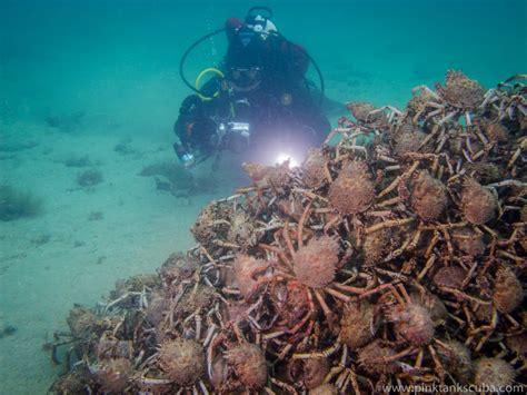 come cucinare i granchi di mare ecco come e perch 233 i granchi si riuniscono formando le