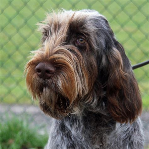 italian spinone puppies italian spinone breeds picture