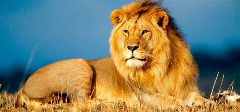 imagenes de animales leon le 211 n panthera leo caracter 237 sticas rugido qu 233 comen