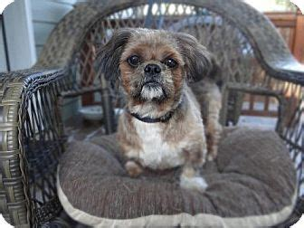 shih tzu oregon darby adopted salem or shih tzu mix