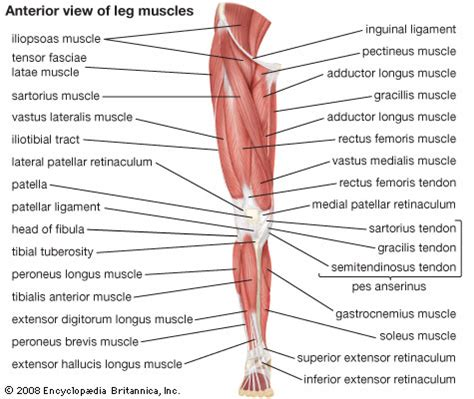 leg muscles diagram operation ap
