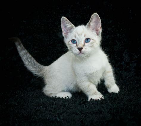 munchkin cat cat breeds encyclopedia