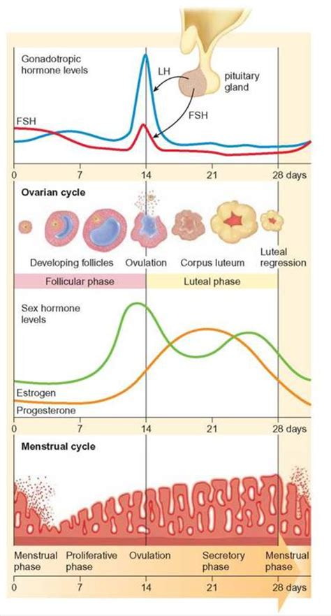 Shedding Thick Uterine Lining by Oogenesis Ovulation And Menstruation Human