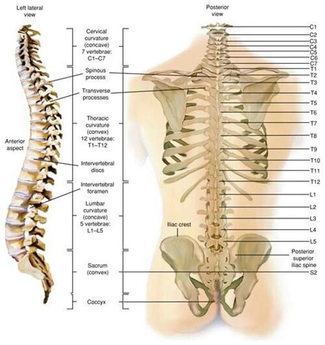diagram of cervical spine image gallery human rib cage numbered