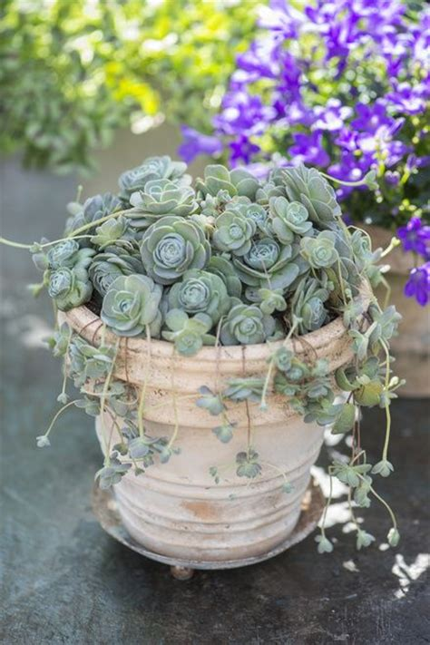 851 best images about sedums succulents on pinterest gardens agaves and succulent wall