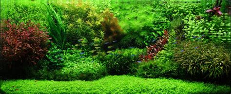 Micranthemum Monte Carlo 5cm Pot   Sydney Discus World