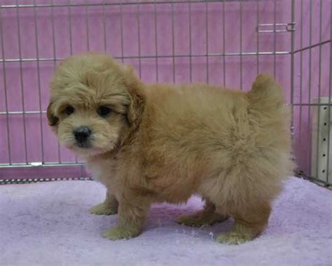 local puppies for adoption quality local puppies for sale for sale adoption in singapore adpost classifieds