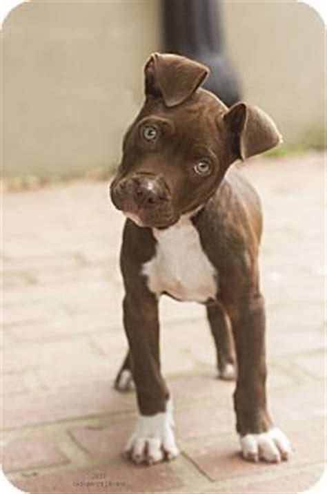 baton adoption american pit bull terrier terrier mix puppy pups