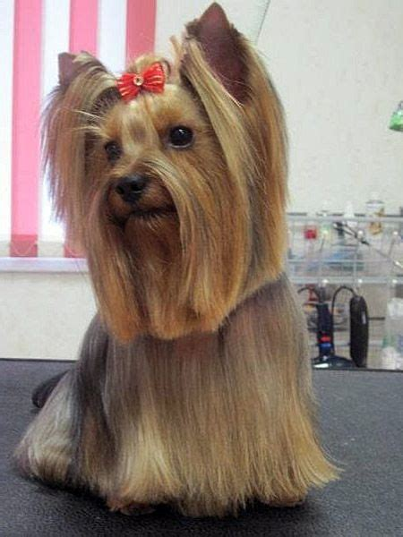 tea cup yorkie hair cuts 14 best yorkie style inspiration images on pinterest
