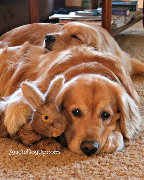 are golden retrievers friendly 17 reasons golden retrievers are not the friendly dogs everyone says they are