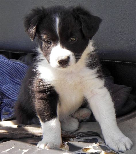 border collie puppies for sale in va aka border collie breeders in va