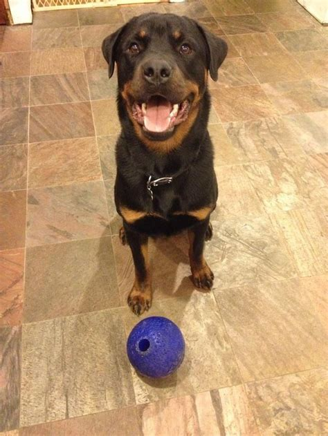 rottweilers time 16 reasons why rottweilers are the most dangerous pets the last one is horrible
