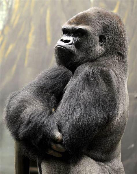 ideas  silverback gorilla  pinterest
