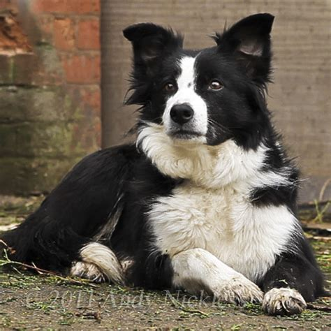sheep dogs border collie herding crafts