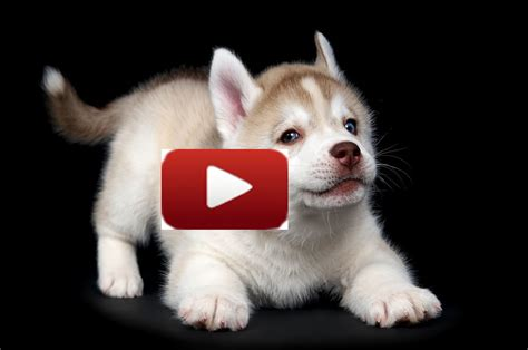 puppies talking siberian husky puppy and names my lovely pups news