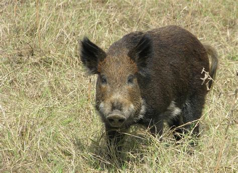 be on the look out for these rising prestigious models feral pigs are on the rise in washington state nw news