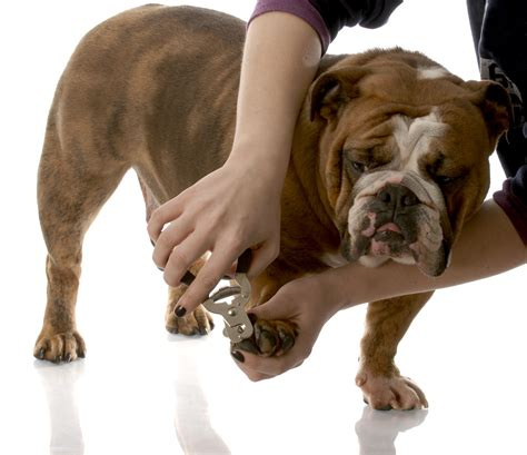 clipping puppy nails tips for nail trimming at homeyour plus