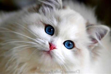 lovely white 65 sweet ragdoll cat photos golfian com