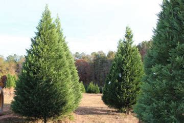 christmas tree farms in alabama extension daily