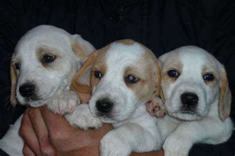 beagle puppies for sale in beagle puppies for sale abergavenny monmouthshire pets4homes
