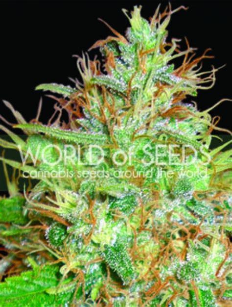 x strain seeds afghan kush x skunk feminised cannabis seeds world of