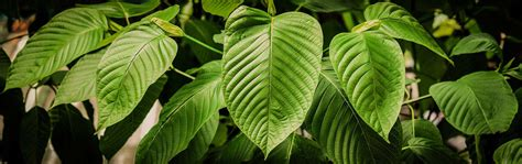 Kratom Detox Help by Kratom Withdrawal Symptoms Help Duration Blvd
