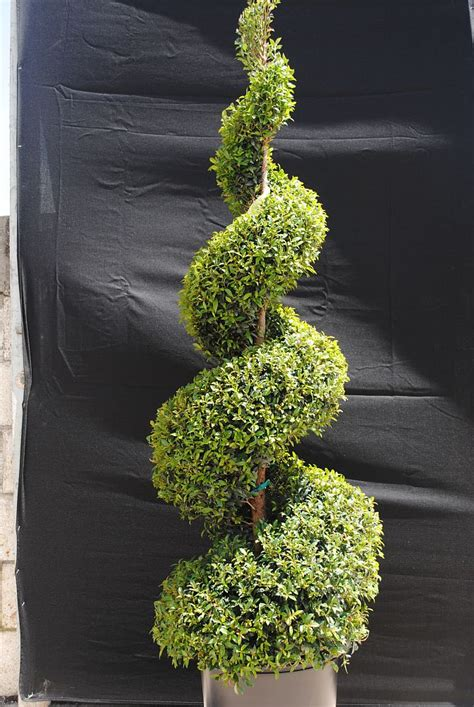 Topiary Spiral - locate amp find wholesale plants plantant com