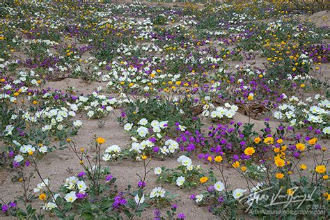 borrego desert flowers art in nature portraits from the desert anza borrego