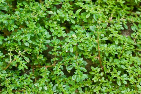images of plants pilea microphylla images useful tropical plants