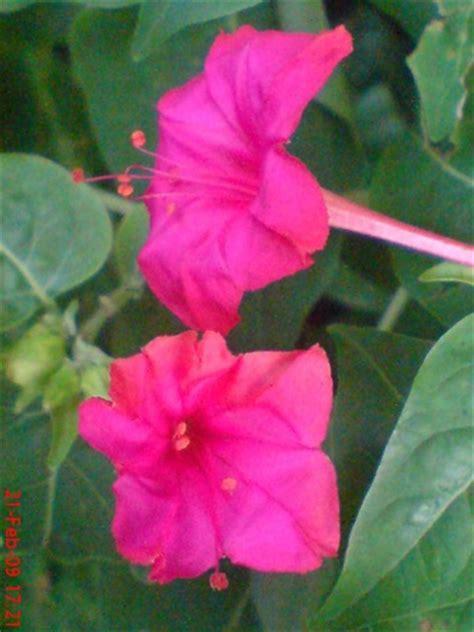 bunga pukul empat mirabilis jalapa  jeprat jepret hape