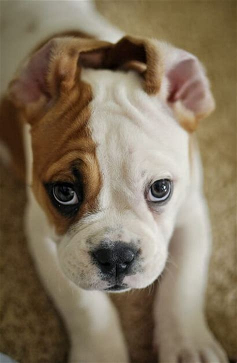 how much are bulldog puppies the american bulldog puppies
