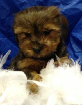 morkie puppies for sale in md 17 best ideas about morkie puppies on small dogs small puppies and