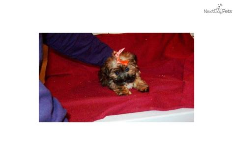 shih tzu puppies for sale in pittsburgh pa shih tzu pittsburgh assistedlivingcares