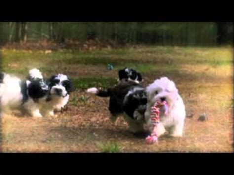 blossom havanese blossom havanese from puppies episode