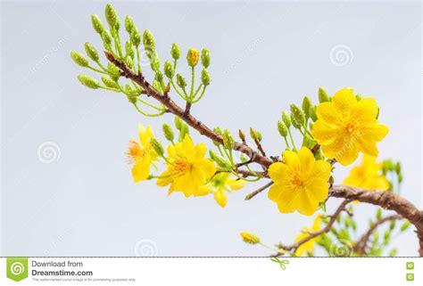 new year flower tradition yellow apricot blossom closeup hoa mai stock image