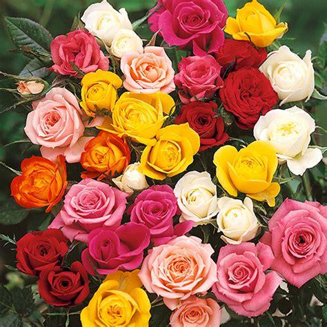 hybrid tea rose bush collection yougarden