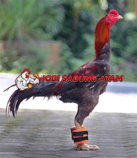 Barbel Ayam Berat 600gram cara membuat barbel untuk ayam aduan dan menggunakannya