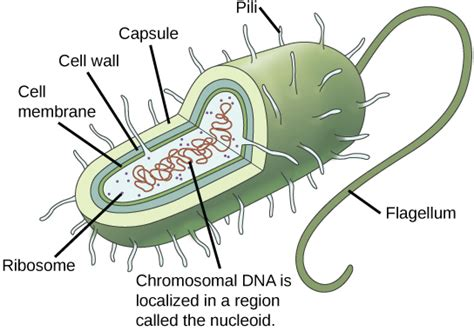 diagram of bacterial cell structure gallery prokaryotic cell diagrams