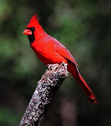 animals world cardinal birds